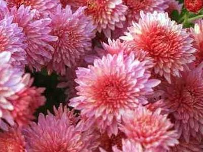 Chrysanthemum C. morifolium