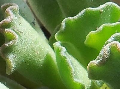 чупка листо Adromischus cristatus