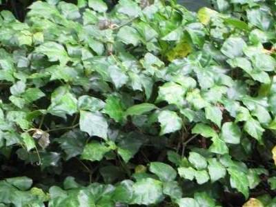 Mahats-hosto Ivy Cissus rhombifolia