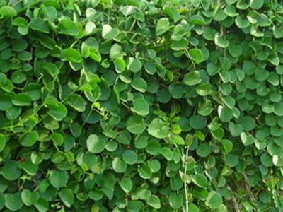 蠟白粉藤屬 C. rotundifolia