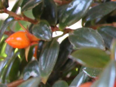 Peshk i kuq Colummea hybrids