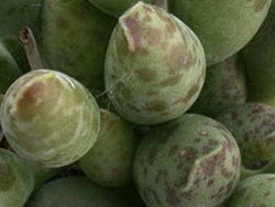 Plover telur Adromischus festivus