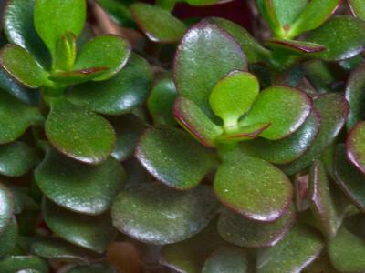 Jade Crassula argentea
