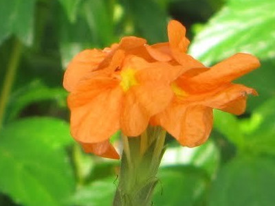 Crossandra Cro. infundibuliformis