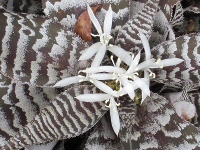 Zebra landare Cryptanthus zonatus