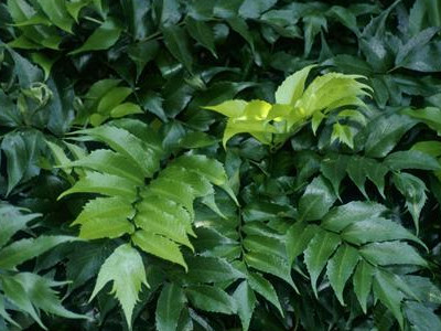 Huset holly fern Cyrtomium falcatum 'Rochfordianum'
