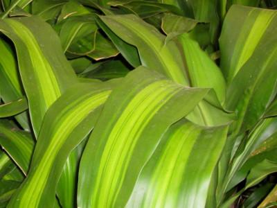 Kukurūzai Dracaena fragrans 'Massangeana'